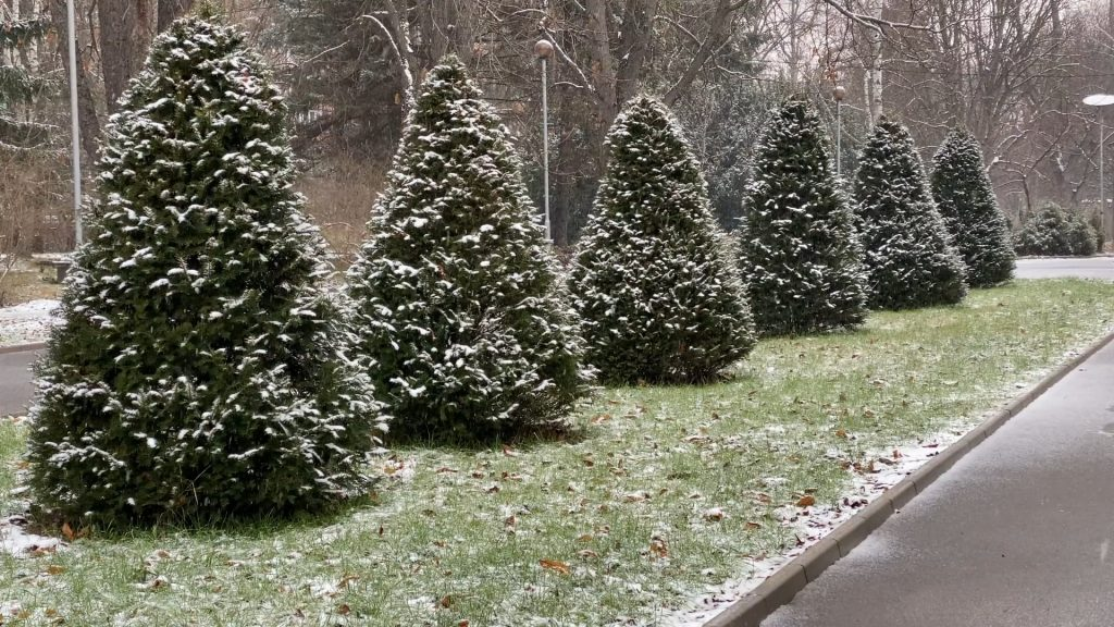 Winter Scenery With Green Trees, Light Snow And Christmas Music